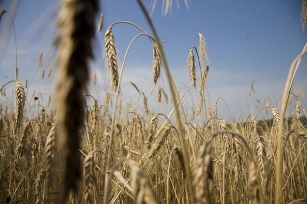 Zbiory zbóż na poziomie 280 mln t