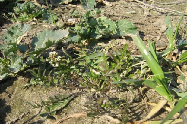 Doglebowe herbicydy trzy dni po siewie