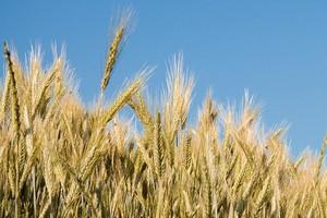 Mniej pszenicy na światowym rynku