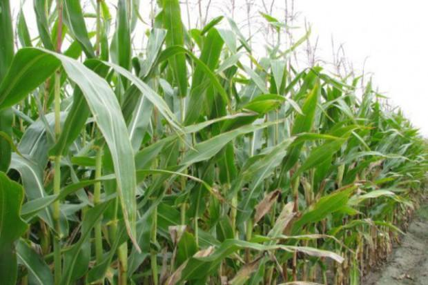 Niższe zbiory z powodu suszy