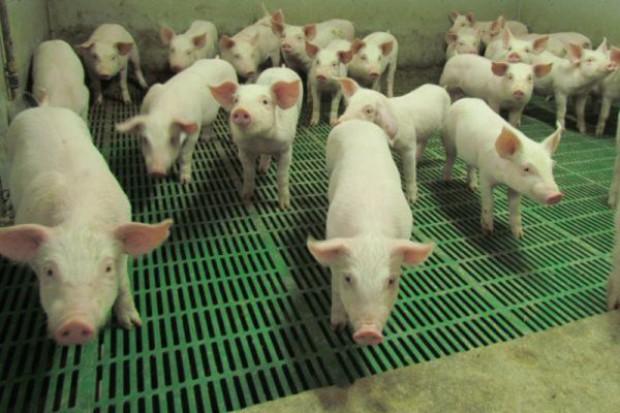 Warunki utrzymania świń niejasne