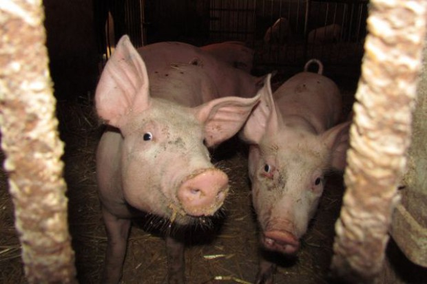 Symboliczne pogłowie świń w Czechach