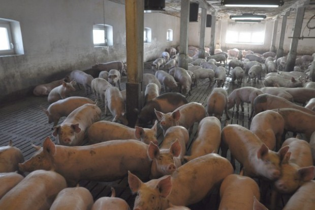 Wieprzowina drożeje w całej Europie