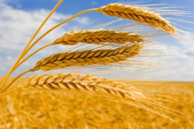 KE: Zbiory zbóż na poziomie 279 mln t