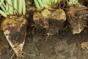 Choroby korzeni buraka cukrowego na terenach z nadmierną ilością opadów