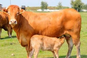 Produkcja wołowiny opłacalna