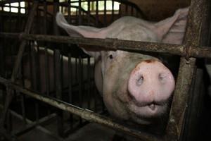 Mniej gospodarstw - więcej świń