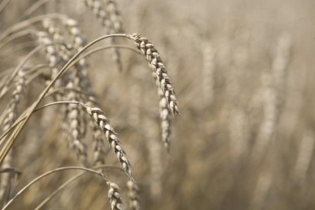 Powrót wzrostów cen zbóż