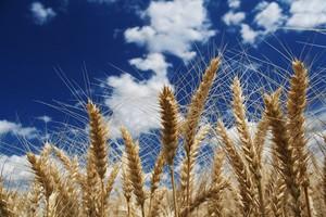 15-20 mln ton zbóż na eksport z Rosji