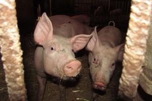 Pogłowie świń - niższe niż przed rokiem