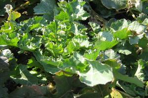 Regulacja rzepaku jesienią - możliwe nawet dwa zabiegi