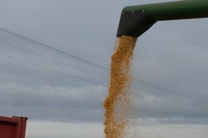 Kukurydza mokra potaniała do 450 zł/t