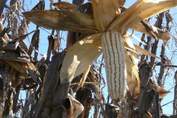 Swobodny obrót GMO faktem