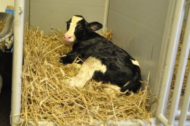 Genomowy przełom w hodowli bydła