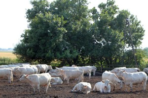 Jak opłacalnie produkować wołowinę?