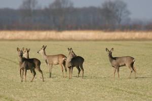 Dzikie zwierzęta wyrządzają coraz większe szkody w uprawach