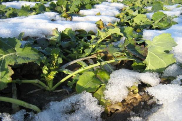 Powolne hartowanie roślin