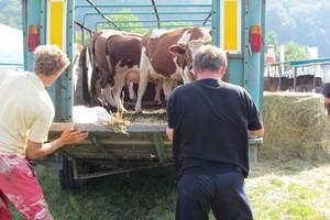 Transport zwierząt rzeźnych - 8 godzin