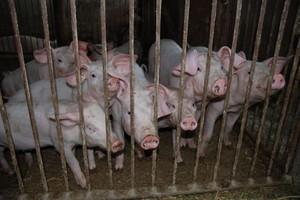 Chów świń wymaga wsparcia rządu