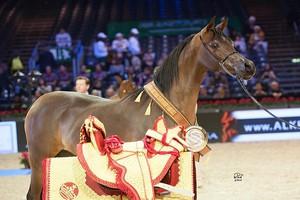 Polska liderem w hodowli koni arabskich