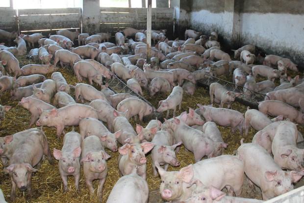 Możliwości zmniejszenia spadku pogłowia świń - jak to robią inni?