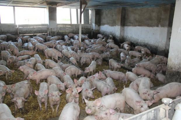 Przecena wieprzowiny w Rosji