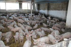 Wzrósł eksport brazylijskiej wieprzowiny