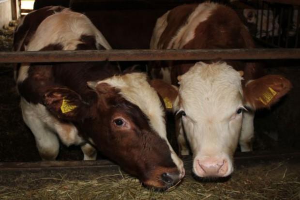 Duży spadek ubojów bydła