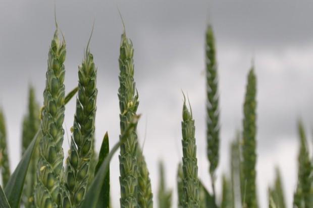 Dobre perspektywy zbóż