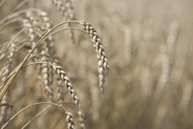 Silny spadek zbóż w Chicago