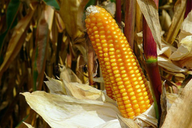 PIN: GMO kwestią drugorzędną