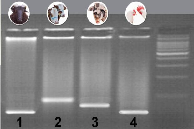 Dokładna identyfikacja gatunków białka zwierzęcego