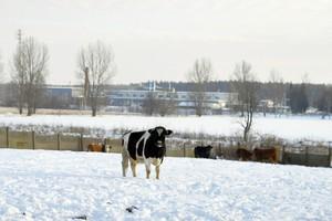 Ciężka zima dla hodowców bydła