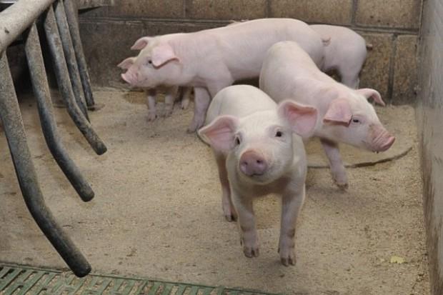 Rośnie pogłowie świń w Niemczech