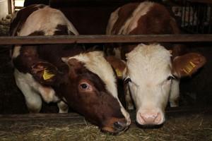 Niewielki wzrost pogłowia bydła