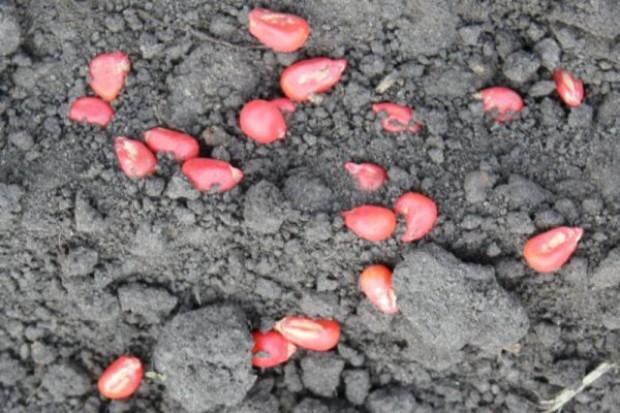 Przechowuj dokumenty zakupu nasion kukurydzy