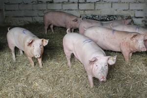 Rosyjscy producenci świń chcą wsparcia rządu