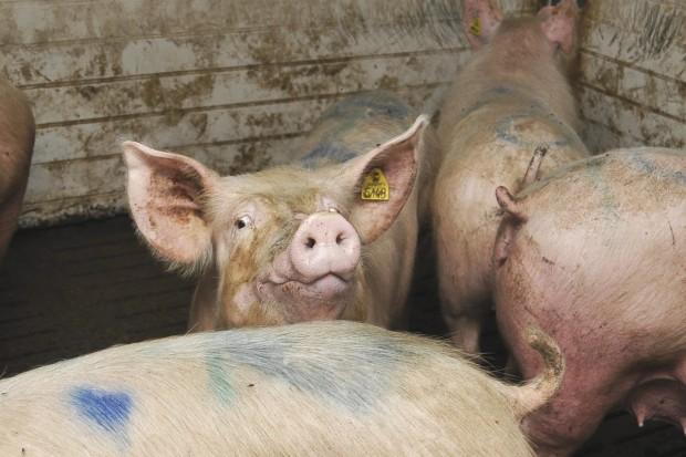 Amerykanie mogą już eksportować świnie do UE