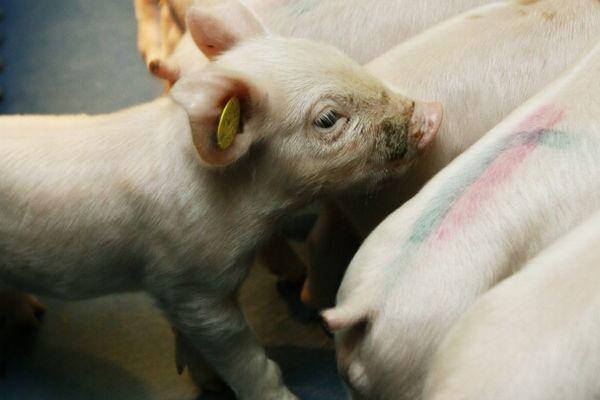 Nie wszystkie pasze dla świń