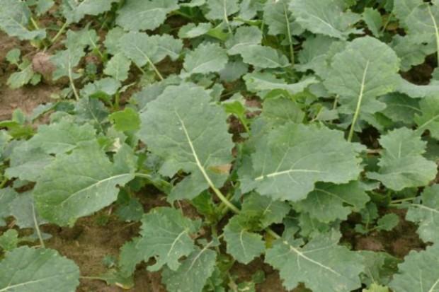 PSPO: Areał uprawy rzepaku wynosi 775,7 tys. ha