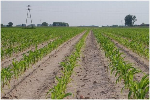 Nawożenie startowe kukurydzy