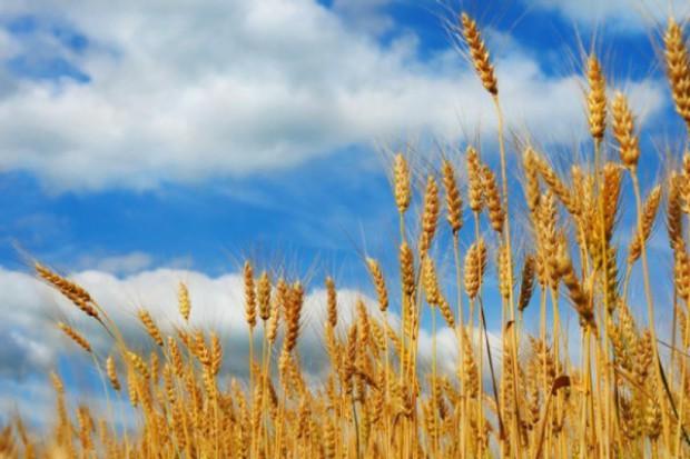 Widać spadki cen skupu zbóż