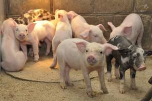Wsparcie hodowli loch i produkcji prosiąt najważniejsze