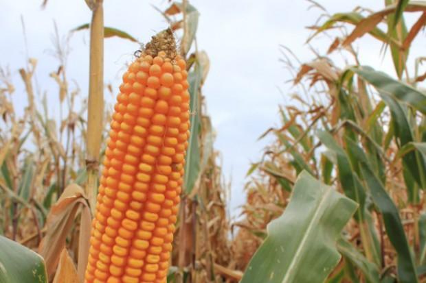 Zarejestrowano kukurydzę o FAO 320