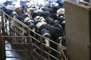 """HF – """"Mercedes"""" wśród krów mlecznych"""