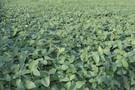 Cena soi najwyższa od ponad 4 miesięcy