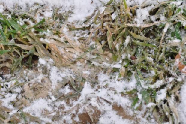 Oziminy pod śniegiem - ryzyko pleśni