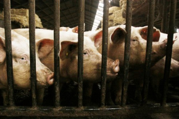 Zastosowanie żyta w żywieniu świń