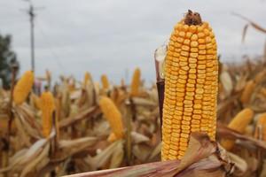 Profesjonalne zwalczanie chwastów w kukurydzy
