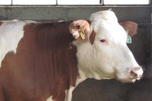 Przekroczenie kwot mlecznych coraz mniej groźne